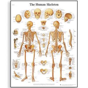 3B Scientific® Vascular System Chart