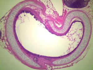 Trachea, Mammal Slide