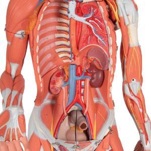Model Entire Human Anatomy Figure