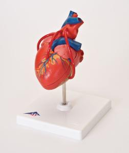 3B Scientific® Heart With Bypass Models