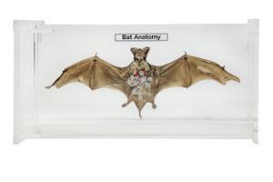 Bat anatomy museum mount