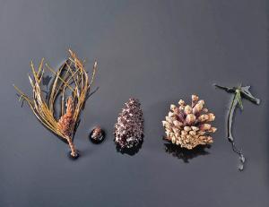 Ward's® Pine Life History Set