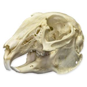 Natural Bone Cottontail Rabbit Skull