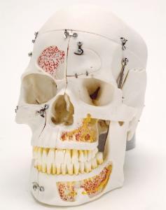 3B Scientific® Deluxe Dental Demonstration Skull