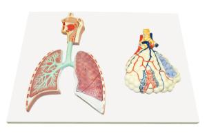 Walter® Respiratory System And Alveoli