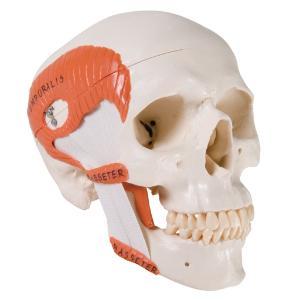 3B Scientific® Functional Muscular Skull