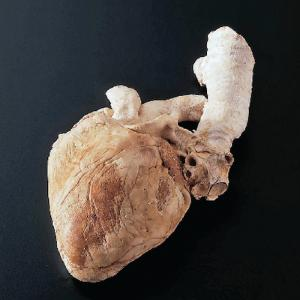Freeze-Dried Sheep Heart with Aorta and Trachea