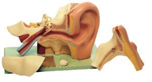 Somso® Ear Model