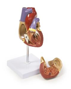 Walter® 2 Part Life-Size Heart