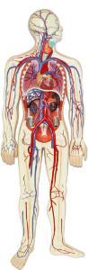 Walter® Circulatory System