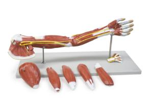 Walter® 7 Part Muscle Of The Human Arm