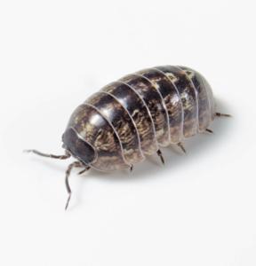 Beetle/Isopod