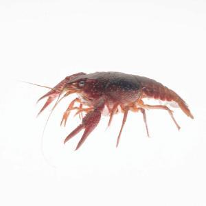12 Crayfish and 12 Najas