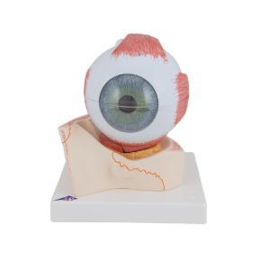 Model Giant Eye