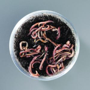 12 Earthworms and 30 Redworms
