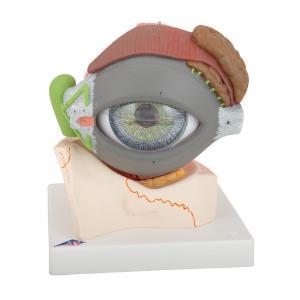 Model Giant Eye with Eyelid 5× Size