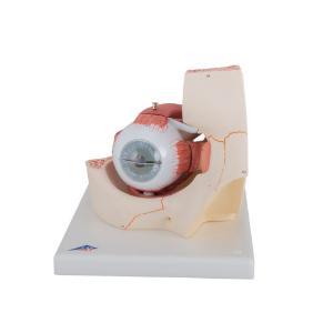 Model Introductory Eye In Orbit
