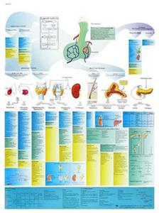 3B Scientific® The Endocrine System Laminated Chart