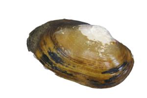 Preserved Mussels