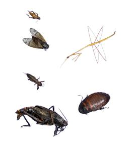 Orthoptera Collection