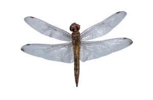 Preserved Dragonfly, Adult