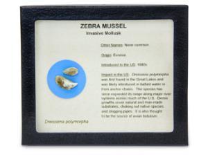 Invasive Species Survey Set, Zebra Mussel