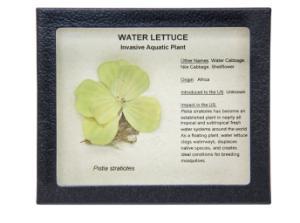 Invasive Species Survey Set, Water Lettuce