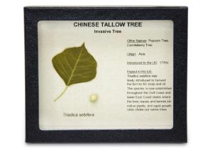Invasive Species Survey Set, Chinese Tallow Tree