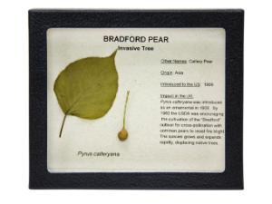 Invasive Species Survey Set, Bradford Pear
