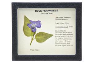 Invasive Species Survey Set, Blue Periwinkle