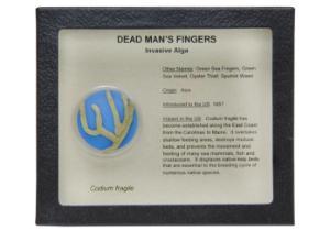 Invasive Species Survey Set, Dead Man's Fingers