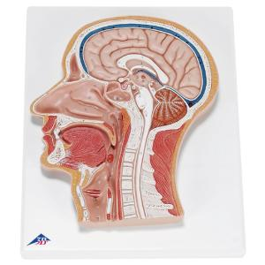 3B Scientific® Median Section Of The Head