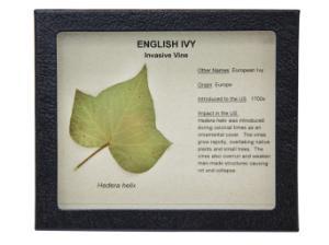 Invasive Species Survey Set, English Ivy