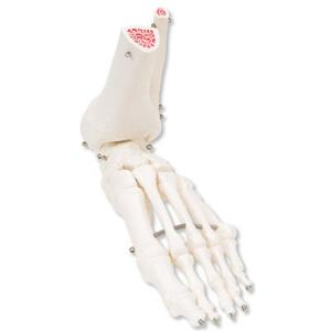 3B Scientific®  Foot and Ankle Skeleton