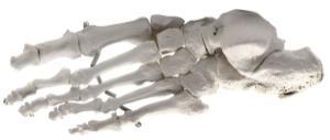 Eisco® Individual Bones, Appendicular