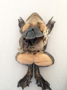 Bullfrog Dissection