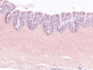 Frog ciliated epithelium