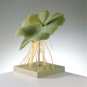 Somso® Fern Prothallium Model