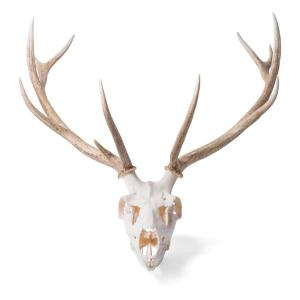 Red Deer Skull Female