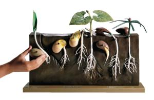 Somso® Comparative Germination Model