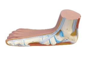 3B Scientific® Foot Structure Models