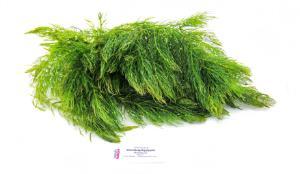 Ceratophyllum betta set