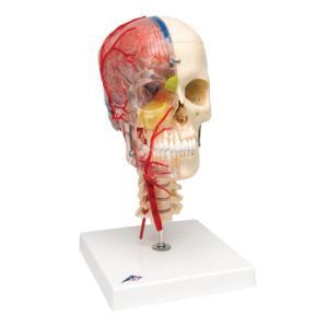 3B Scientific® BONElike™ Human Skull Model  With  Brain And Vertebrae