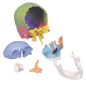 3B Scientific® Beauchene Skulls