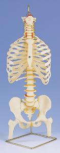 3B Scientific® Flexible Spine Model With Ribs And Femur Heads