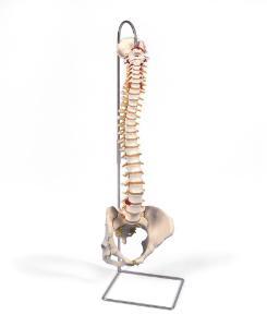3B Scientific® Flexible Spine And Female Pelvis