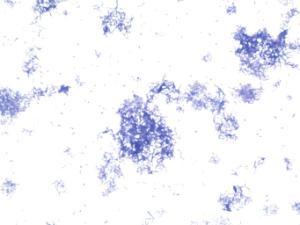 Spores in bacteria slide
