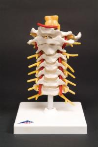 3B Scientific® Spinal Column Sections