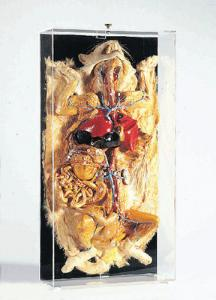 Ward's® Freeze-Dried Cat Vascular System Museum Mount