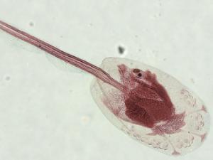 Tunicate Larvae Slide